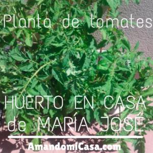 tomates de Maria José