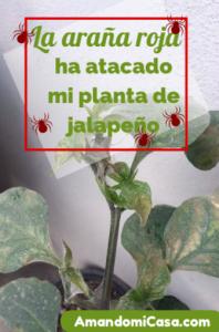 La araña roja ha atacado mi planta de jalapeño