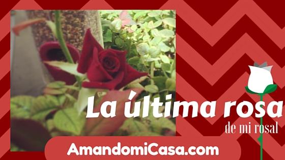 La última rosa de mi rosal