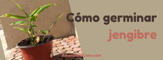 cómo germinar jengibre